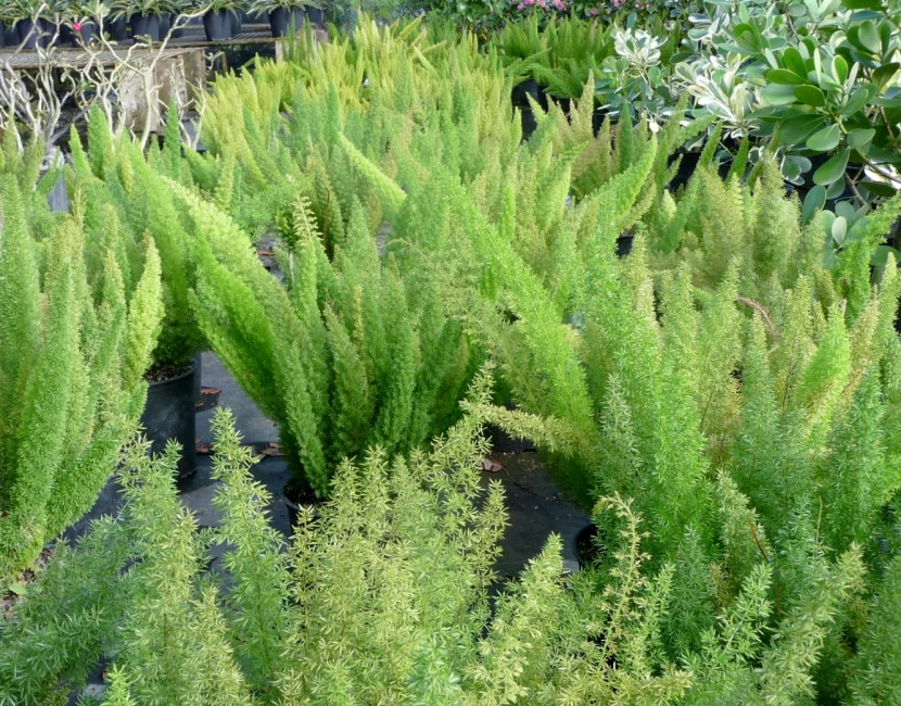 Asparagus densiflorus 'Myers' (2)