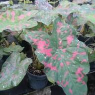 CaladiumAssorted Varieties
