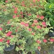 Calliandra haematocephala'Nana'