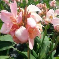 Canna 'Carolina Pink'