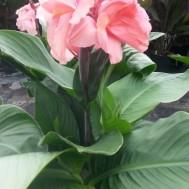 Canna 'Rose'