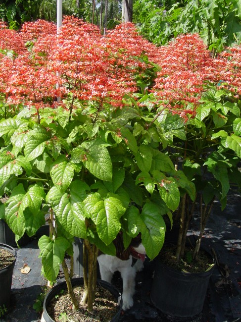 Clerodendron Red Pagoda (2)