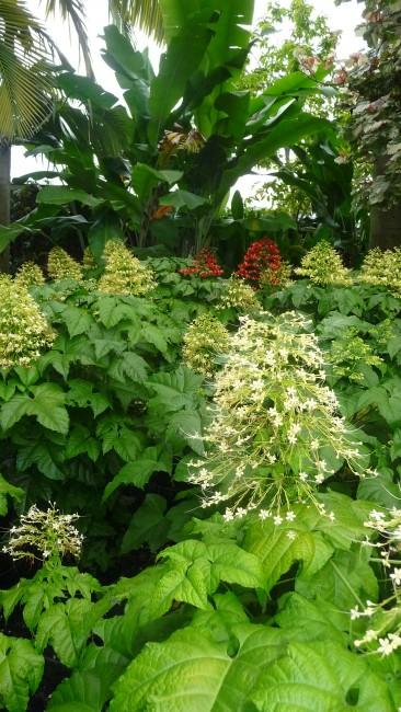 'Clerodendrum paniculatum' Pagoda Yellow and Red 7g