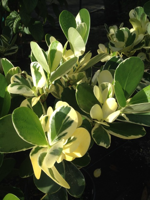 Clusia 'Variegated' (2)