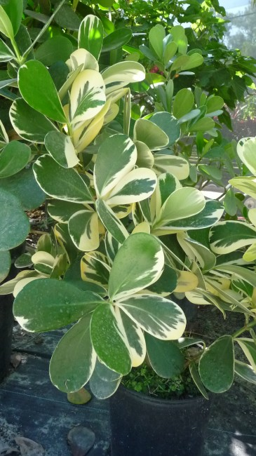Clusia 'Variegated'