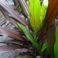 Cordyline fruticosa 'Black Magic'