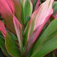 Cordyline fruticosa 'Bolero Bicolor'