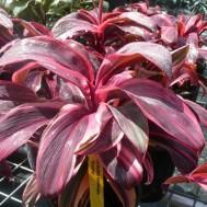 Cordyline fruticosa 'Electra'