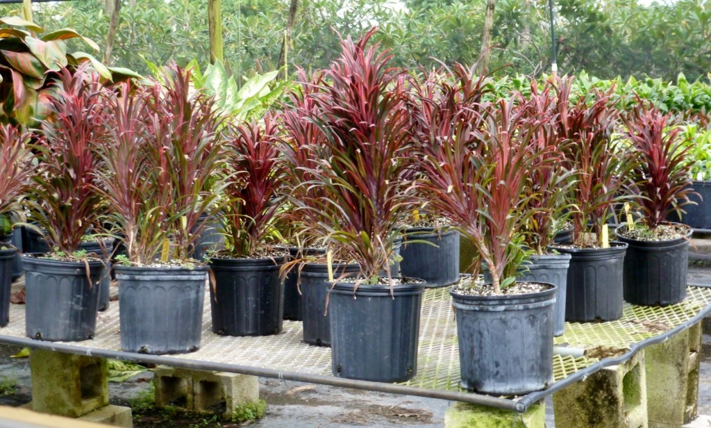Cordyline Fairchild Red (1)