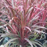 Cordyline fruticosa 'Fairchild Red'