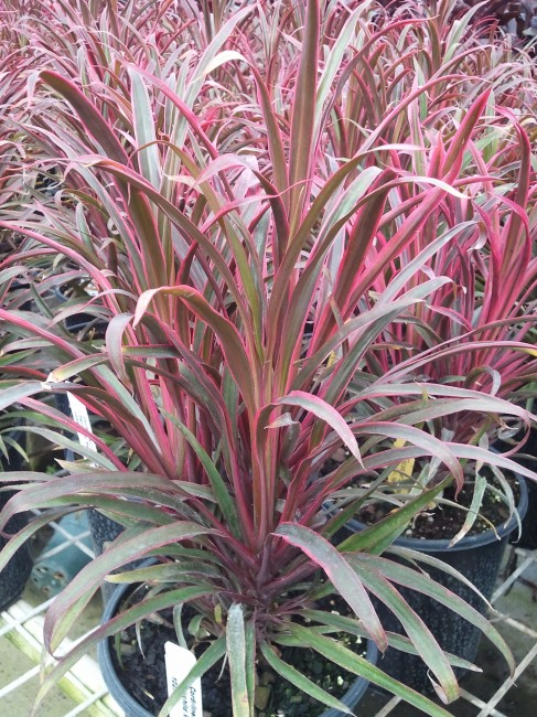 Cordyline Fairchild Red