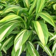 Cordyline fruticosa 'Golden Stripe'