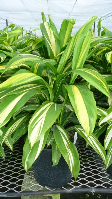 Cordyline Golden Stripe