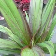 Cordyline fruticosa 'Pele Smoke'
