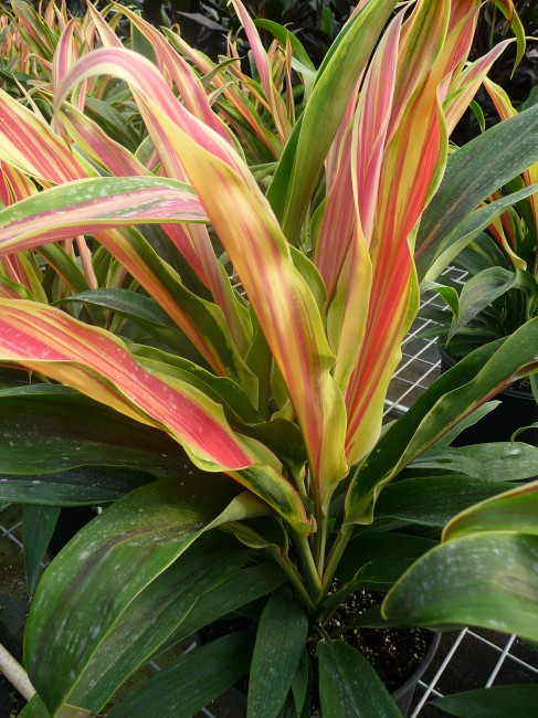 Cordyline Peppermint Swirl