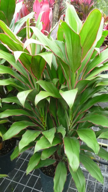Cordyline Philippine Beauty (2)