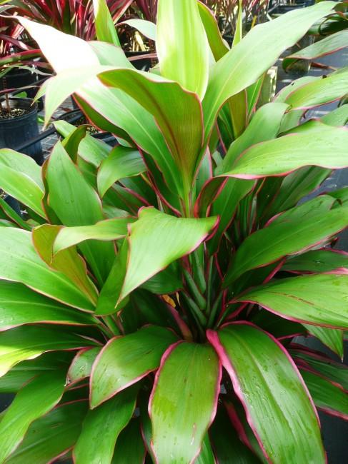 Cordyline Philippine Beauty