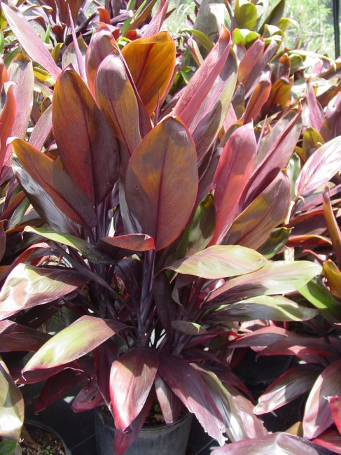 Cordyline Red Bull 7G