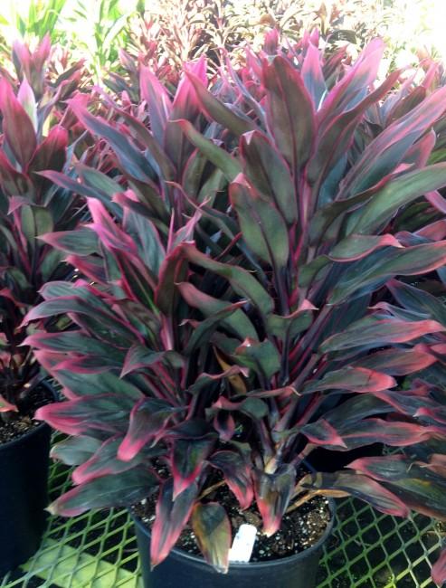 Cordyline Red Hawaiian compacta 3g