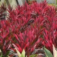 Cordyline fruticosa 'Red Pepper'