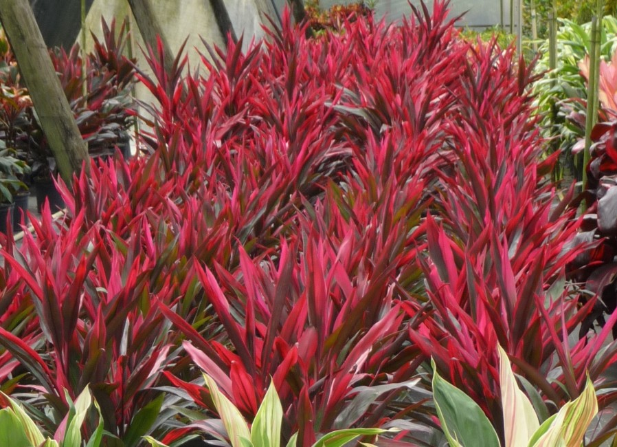 Cordyline Red Pepper