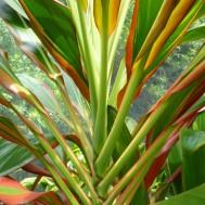 Cordyline fruticosa 'Schubertii'