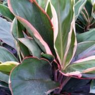 Cordyline fruticosa 'Sonny Matthews'