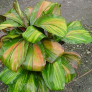 Cordyline fruticosa 'Willie's Gold'