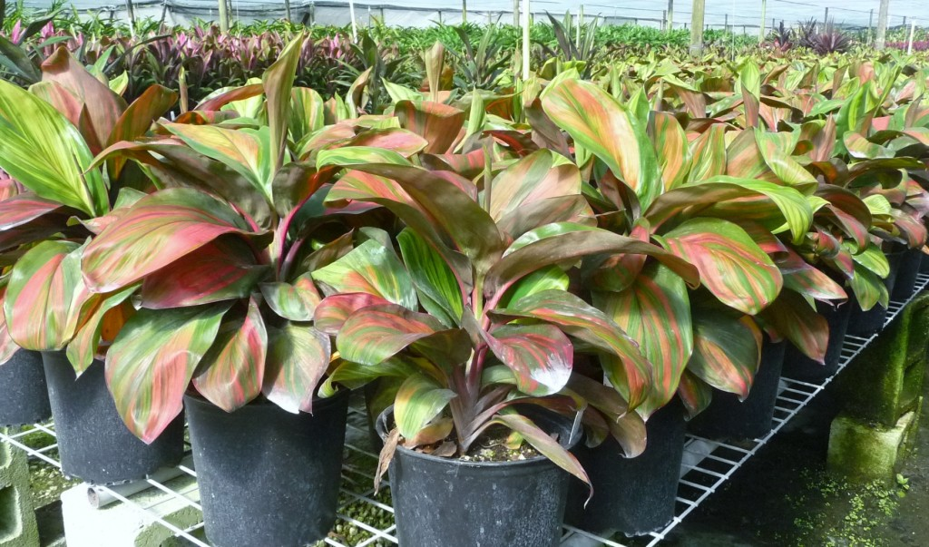 Cordyline Wiley's Gold