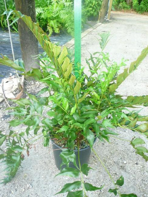 Cyrtomium falcatum (1)