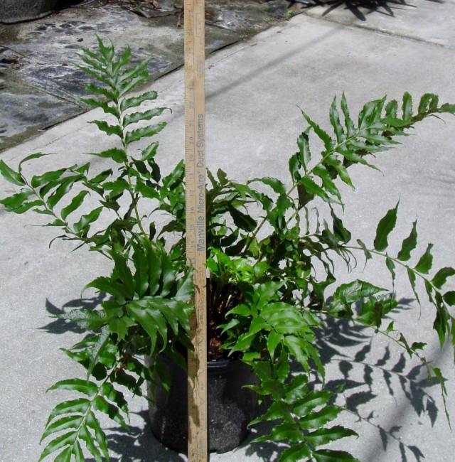 Cyrtomium falcatum (2)