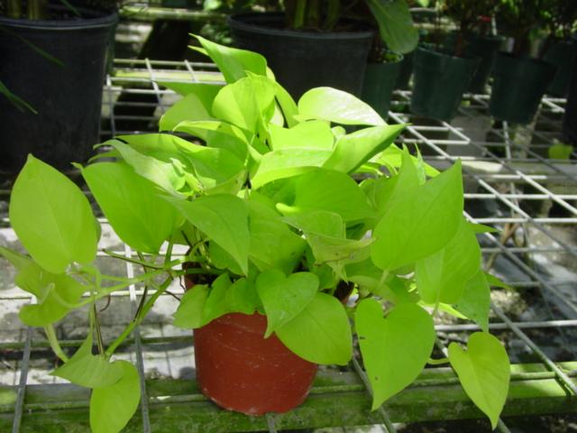 Epipremnum aureum 'Neon Pothos'