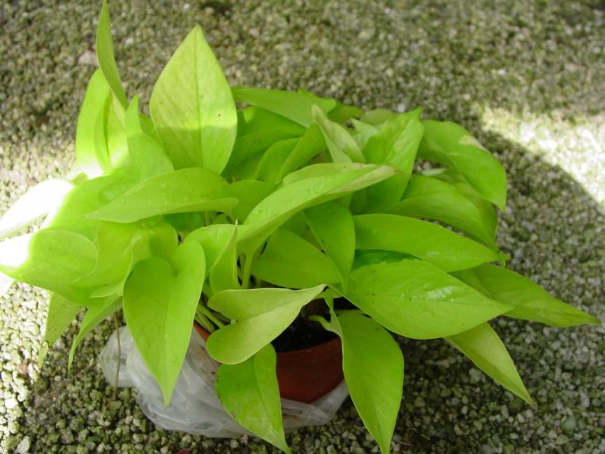 Epipremnum aureum 'Pothos Neon' 1G