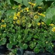 Farfugium aueromaculata