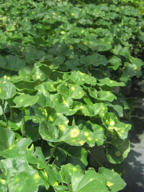Farfugium 'Aureomaculata'