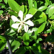 Gardenia vietnamensis
