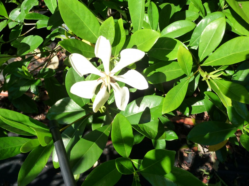 Gardenia vietnamensis 7g