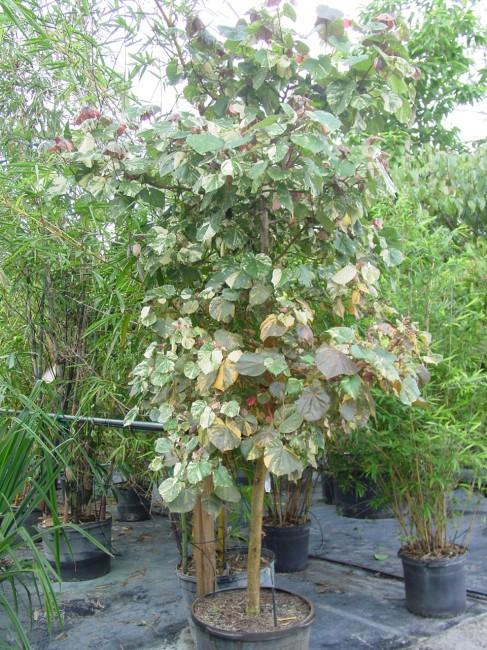Hibiscus tiliaceus 'Tri-Color Mahoe'