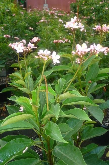 Jatropha Pink (2)