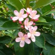 Jatropha'Pink Princess'