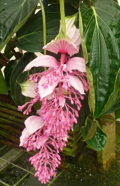 Medinilla Magnifica Bloom