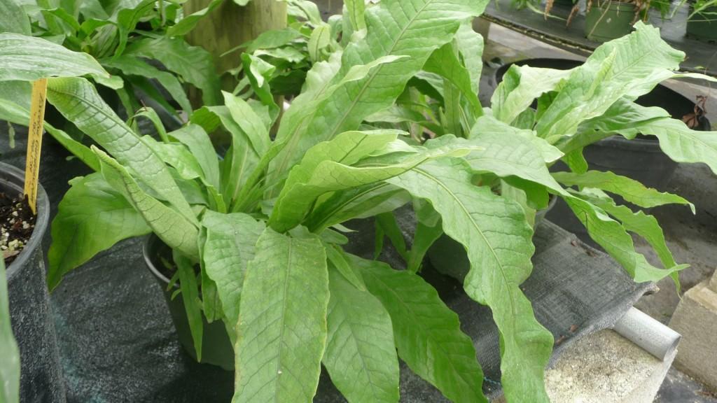 Microsorum musifolium (2)