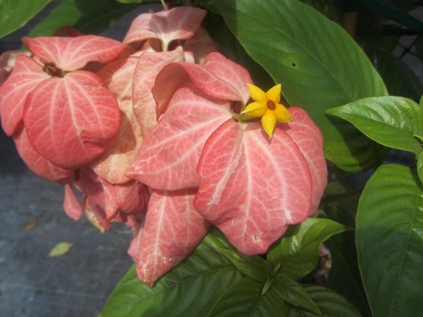 Mussaenda 'Pink' flower