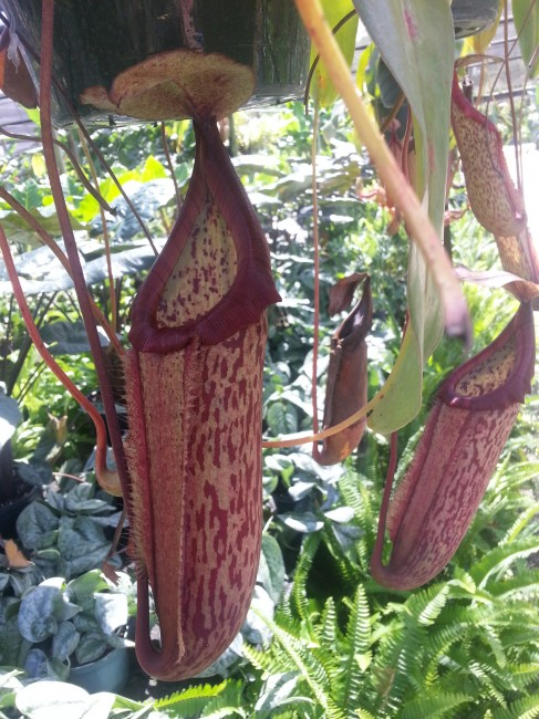 Nepenthes 'Miranda Pitcher Plant HB'