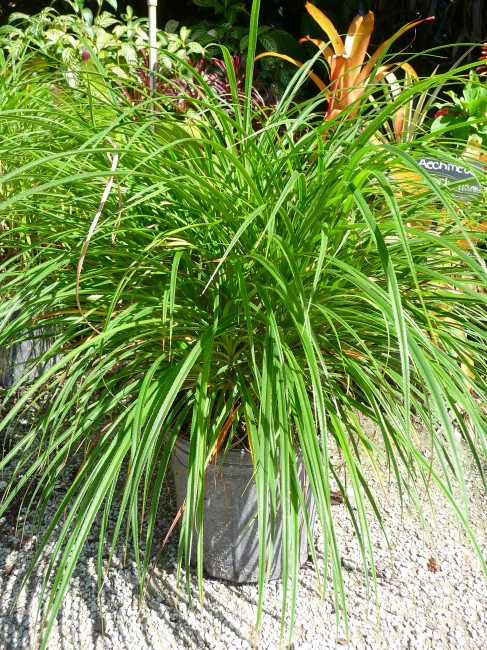 Pandanus pygmaeus 'Dwarf Pandanus grass'