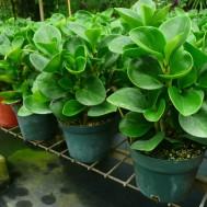 Peperomia obutusifolia'Green'