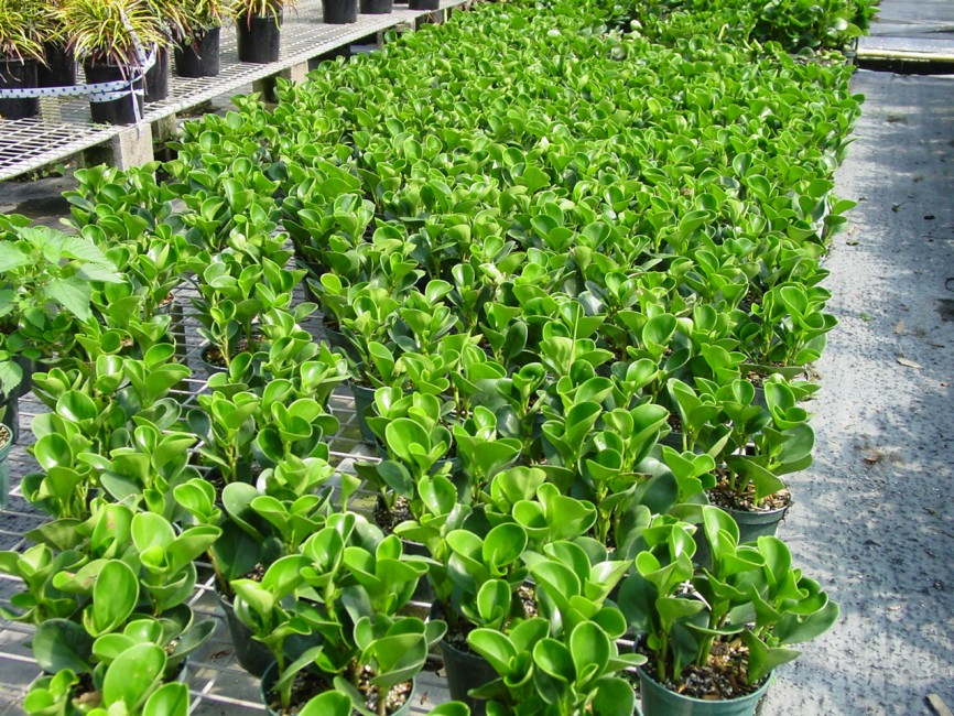 Pepperomia obutusifolia 'Green' (2)