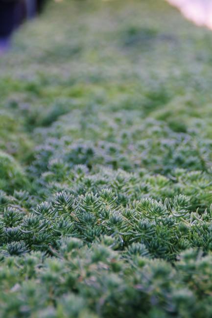 Sedum sarmentosum 'Green Star Sedum' (3)