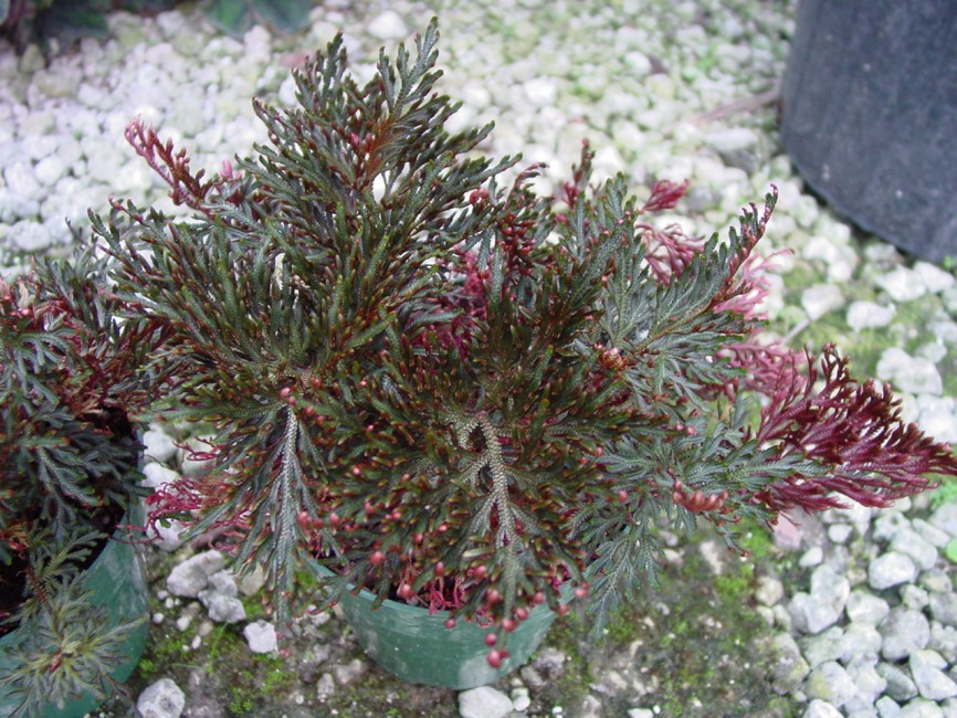 Selaginella erythropus sanguinea 'Ruby Red'  (1)