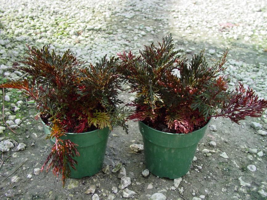 Selaginella erythropus sanguinea 'Ruby Red'  (2)